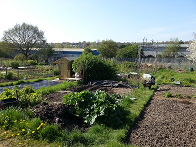 My allotment.  The shed is in the neighbouring plot.