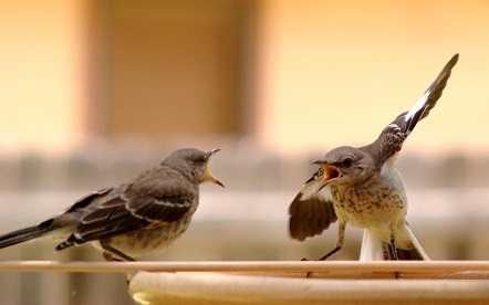 Mocking_Bird_Argument